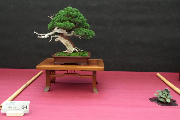 Juniperus chinensis Itoigawa - Associazione Bonsai il Moro