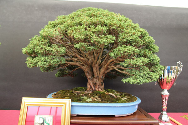 Chamaecyparis - Bonsai Wood Club