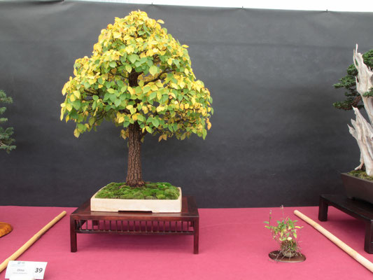 Olmo (Ulmus campestris) - Bonsai Club Torino