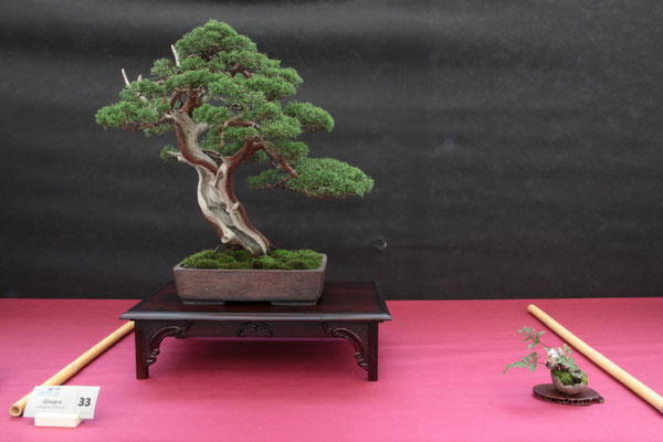 Juniperus chinensis - Bonsai do Groane