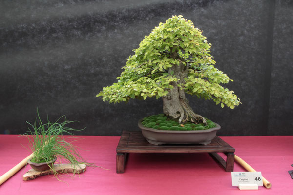 Carpino (Carpinus betulus) - Bonsai Club Insubria