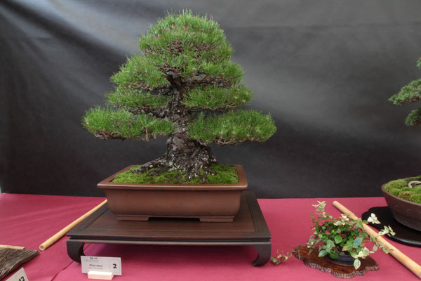 Pino thunbergii - Bonsai Wood Club