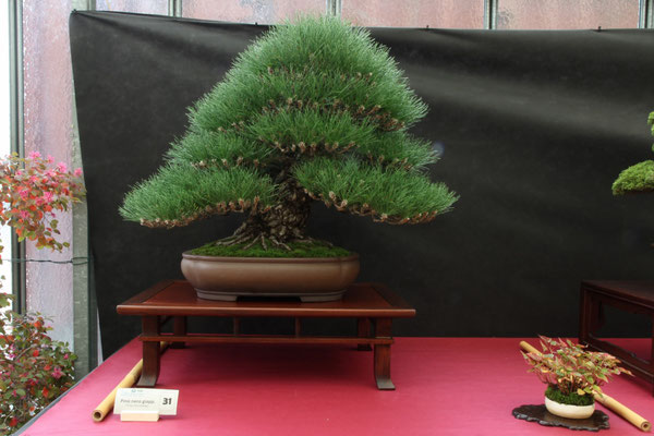 Pino thunbergii - Bonsai Club Boves