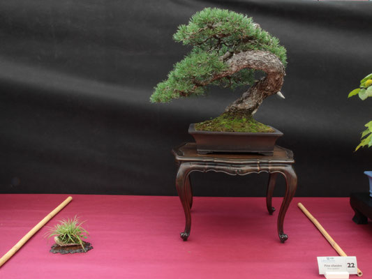 Pini silvestre - Bonsai Club Somma
