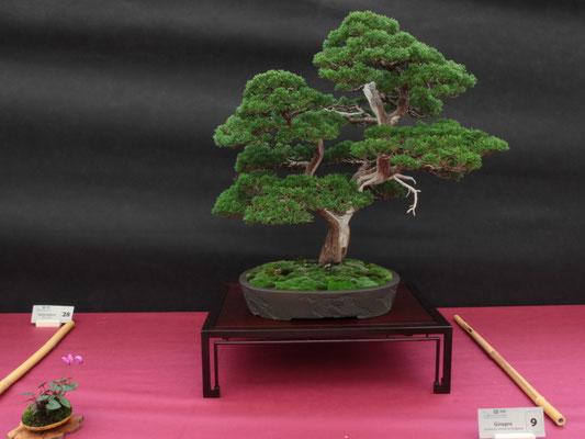 Juniperus chinensis Itoigawa - Associazione Arte e Cultura Bergamo Bonsai