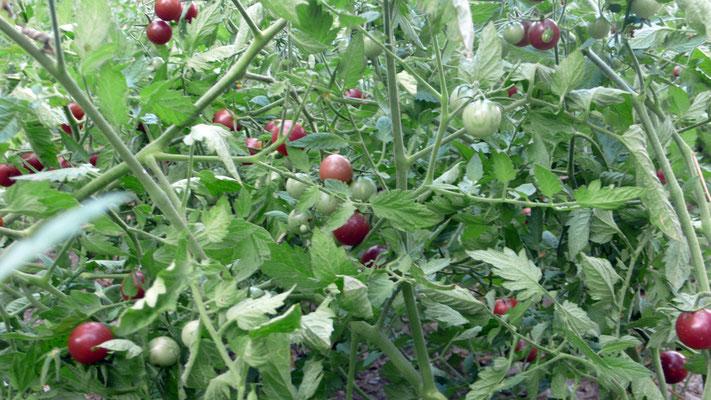 Tomatenreichtum im Olivehain - schwarz-rote Cocktailtomaten - Kinderglück!