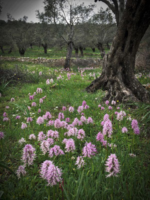 Wilde Orchideen im Olivengarten