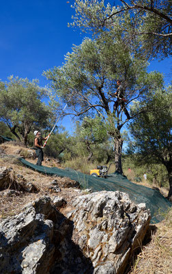 Olivenbäume sind Hochstämme. Da muss man sich richtig lang machen, um die Oliven zu ernten.