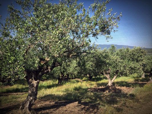 Die Bäume in Kalamata werden ganz anders beschnitten als auf Lesbos