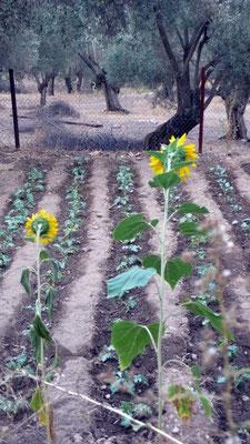 Die jungen Kohlpflanzen brauchen tägliche Bewässerung, um dem heißen Sommer standzuhalten.