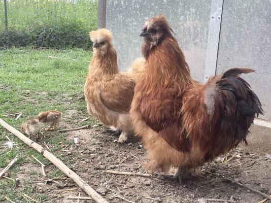 Seidenhühner mit Küken