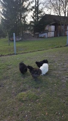 Seidenhühner schwarz