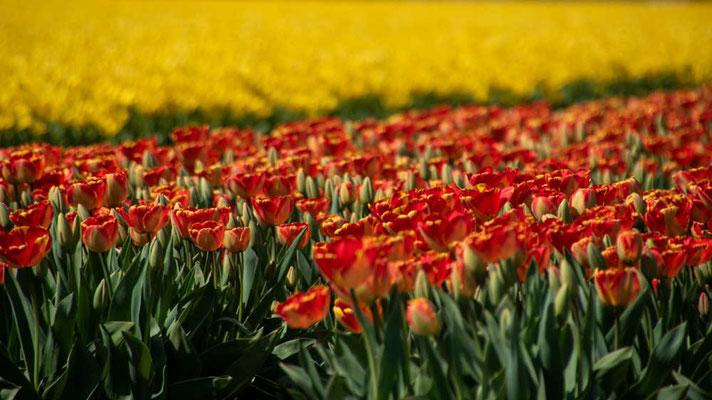 Tulpen soweit das Auge reicht - Tulpenfelder beim Keukenhof, NL