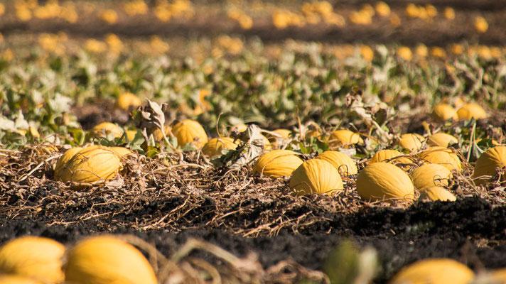 Melonen! So weit das Auge reicht - Melonen!
