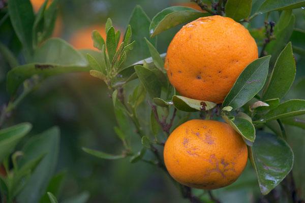 Mandarinen frisch vom Baum