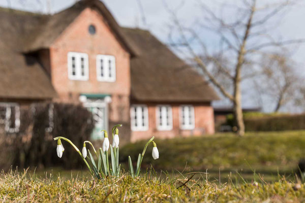 Frühlingsboten trauen sich langsam hervor, Keitum, Sylt