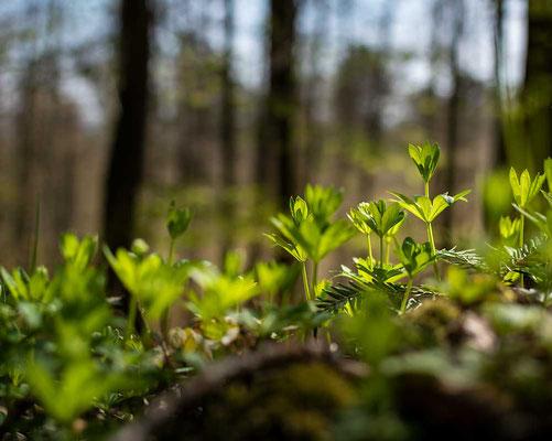 Wenn der Waldmeister sich der Frühlingssonne entgegen reckt, Odenwald