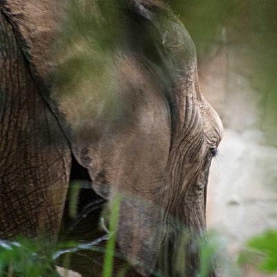 Sanfter Riese - Elefant im Zoo Duisburg