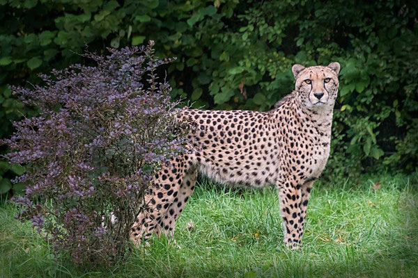 Elegant & schnell - Gepard im Serengeti Park Hodenhagen