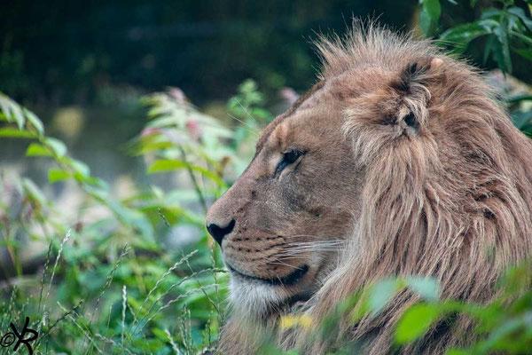 Seine Majestät lässt sich nciht aus der Ruhe bringen - Löwe im Zoo Duisburg