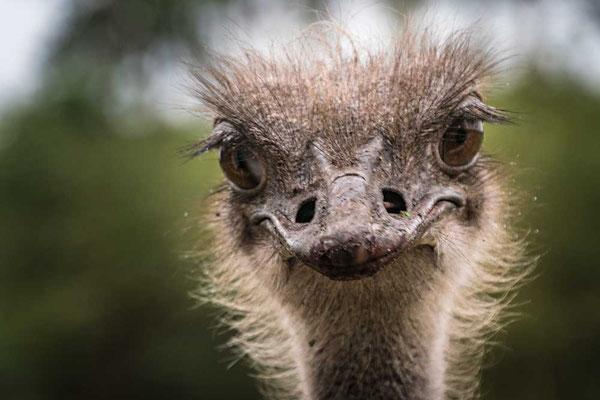 Was guckst Du? Neugieriger Nandu im Serengeti Park Hodenhagen