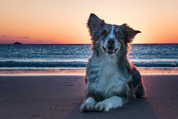 Eines meiner Lieblings-Fotomodelle: Lina, Australian Shepard