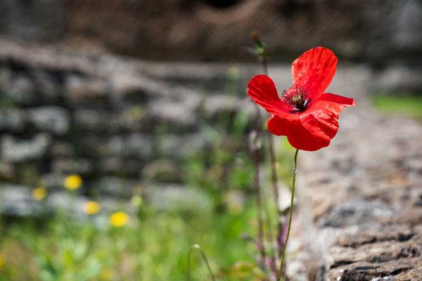 Die Natur erobert sich die Villa zurück und rote Mohnblumen zieren die alten Steinmauern