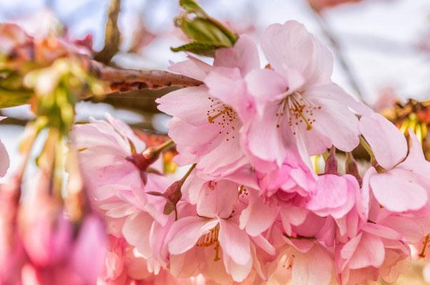 Rosa Fürhlingstraum - Zierkirschen in voller Blüte