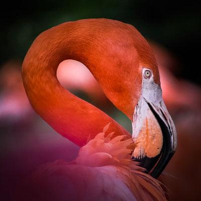 Elegante Farbenpracht - Flamingo im Zoo Köln
