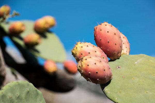 Kaktusfeigen gibt´s in Hülle und Fülle
