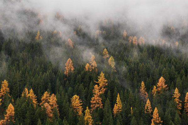 Herbstliche Lärchenfärbung