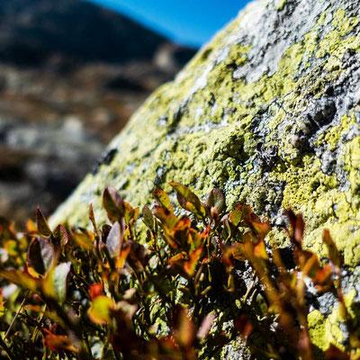 Gelbliche Flechten  bedecken große Teile der Landschaft auf dem Sankt Gotthard Pass, CH