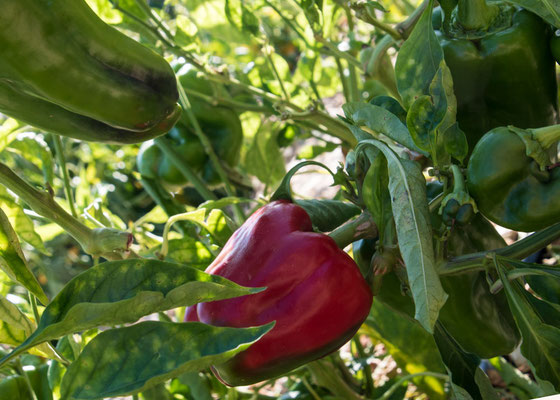 Paprika, lecker und frisch vom Busch