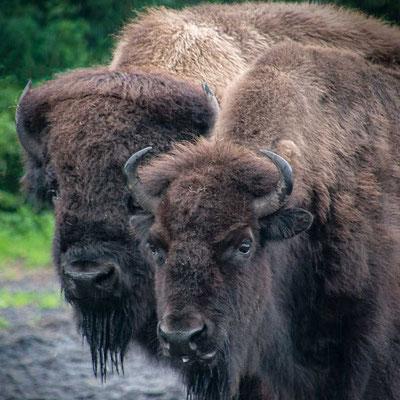 In der Ruhe liegt die Kraft - Bisons im Serengeti Park Hodenhagen
