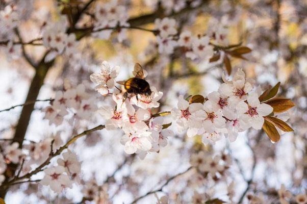 Fleißiges Bienchen, unterwegs in der Blütenpracht des Frühlings