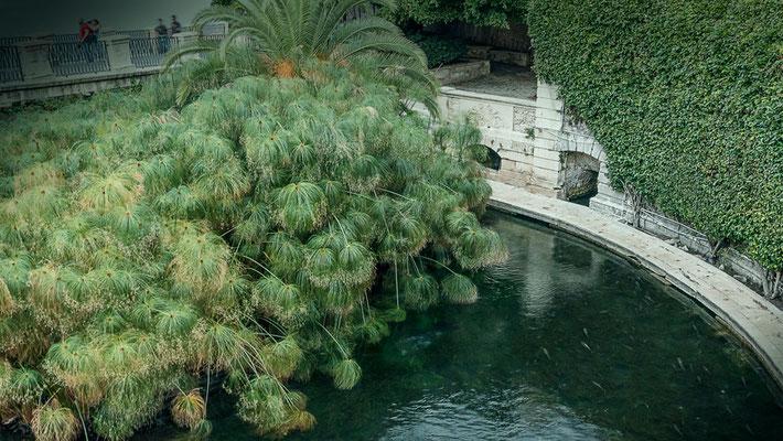Die Fonte Aretusa ist eine Süßwasserquelle direkt am Meer und der hier wild wachsende Papyrus ist der komplette Bestand dieser Pflanze in Europa. Ortigia, Syrakus, Sizilien