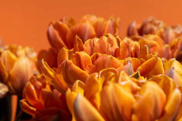 Ton in Ton - so wunderbare Tulpen, mit kräftigen Farben auf dem Keukenhof, NL