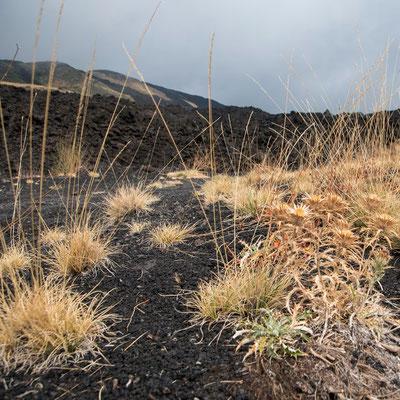Am Fuße des Vulkan erobern sich Gräser und einfache Pflanzen das Terrain zurück - bis der nächste Ausbruch kommt und alles wieder zuschüttet mit Asche. Ätna, Sizilien