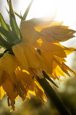 So wunderbar im morgendlichen Sonnenschein, Keukenhof, Lisse, NL