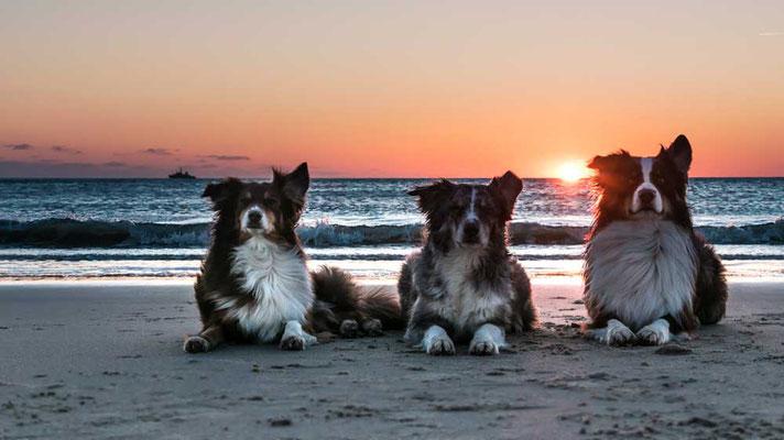 Drei auf einen Streich: Lana (Mini Australian Shepard) LIna und Zamur (beide Australian Shepard), von links