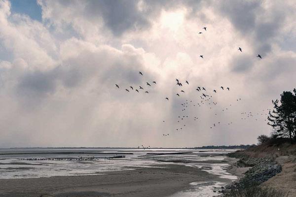 Zugvogelschwarm im Watt, zwischen Munkmarsch und Keitum, Sylt