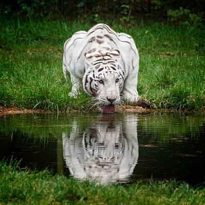 Spiegelnde Schönheit - Weißer Tiger im Serengeti Park Hodenhagen