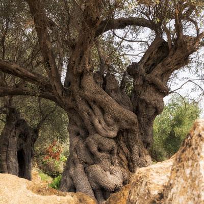 Jahrhunderte alte Olivenbäume stehen zwischen den Ruinen der alten Tempelanlagen von Agrigent, Sizilien