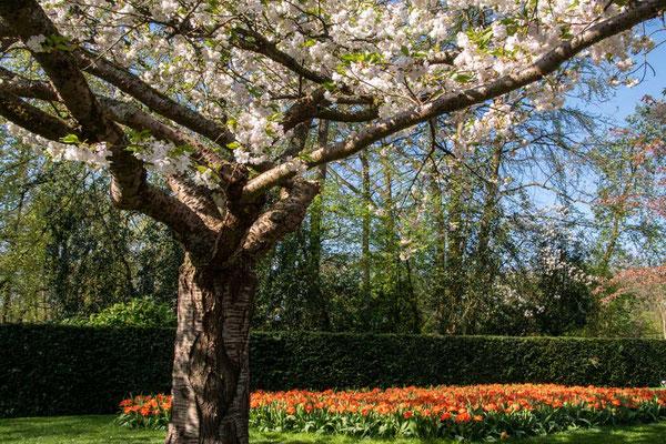 Eine herrliche Blütenpracht, Keukenhof, Lisse, NL
