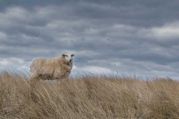 Kommt da wer zu Besuch? Schaf mit Ausblick am Ellenbogen, List, Sylt