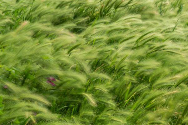 Vom Winde verweht - der wilde Weizen wiegt sich im Wind
