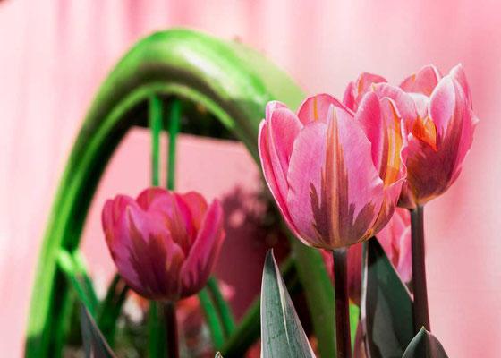 Traumhafte Inszenierung der Tulpenpracht, Keukenhof, NL