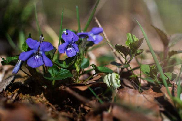 Frühlingsboten rund um die Burgruine Rodenstein, Odenwald