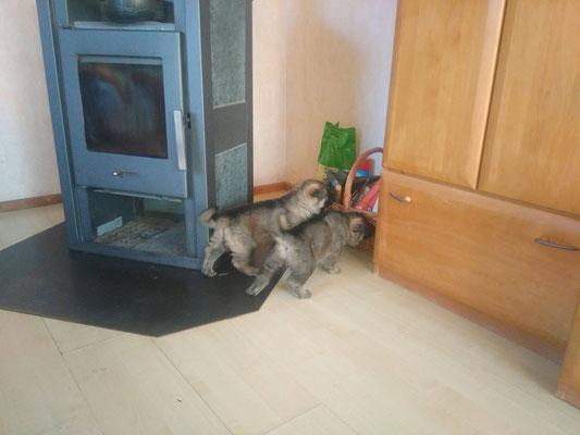 4 Wochen alt, zwei Rüden
