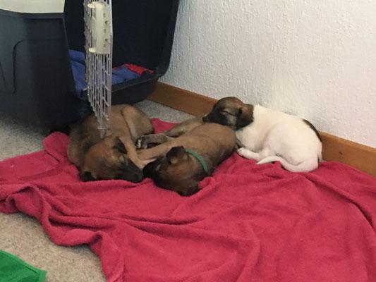 gechillte Hunde schlafen auch um Kinder herum